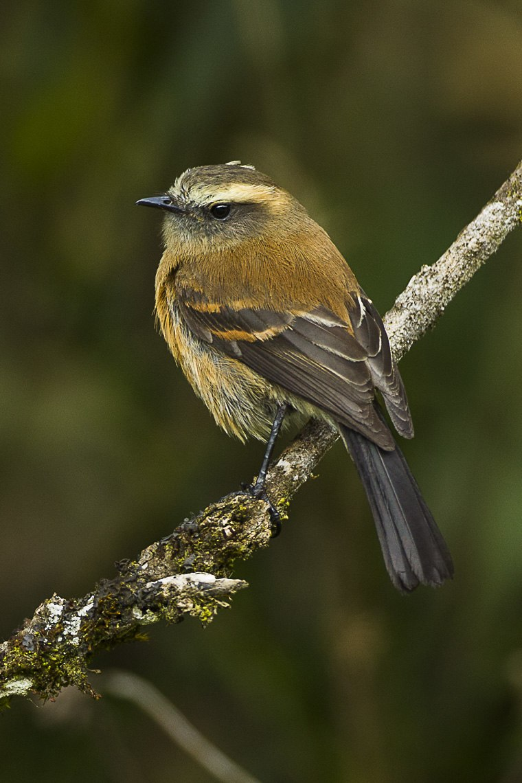 Brown-backed Chat-Tyrant - Colombia S4E1525