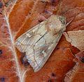 Brown-line Bright-eye. Mythimna conigera - Flickr - gailhampshire.jpg