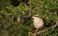 Brown Shrike - Yala National Park.jpg