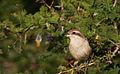 Brown Shrike - Yala National Park.jpg