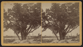 Brownstone quarries. Old tree in the Brainerd & Co. Quarry, Portland, Conn, from Robert N. Dennis collection of stereoscopic views.png