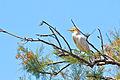 Bubulcus ibis -Camargue, France-8.jpg