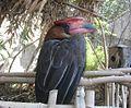 Buceros hydrocorax hydrocorax in Ouwehands Dierenpark.jpg
