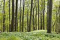 Buchen- und Bärlauchwald im südlichen Süntel im Naturpark Weserbergland Schaumburg-Hameln (file002).jpg