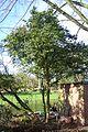 Buchsbaum-Baum2.JPG