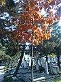 Bucuresti, Romania. Cimitirul Bellu Catolic. Puiul de stejar cu frunze de foc.jpg