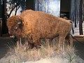 Buffalo (5244409037).jpg