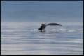 Buiobuione british columbia humpback whale 1.tif