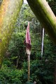Bunga Amorphophallus Gigas.jpg
