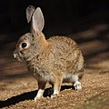 Bunny (11036077733).jpg
