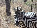Burchell's Zebra, South Africa.JPG