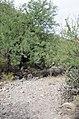 Butcher Jones Trail to Pinter's Point Loop, Tonto National Park, Saguaro Lake, Ft. McDowell, AZ - panoramio (175).jpg