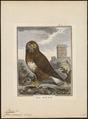Buteo vulgaris - 1700-1880 - Print - Iconographia Zoologica - Special Collections University of Amsterdam - UBA01 IZ18200029.tif