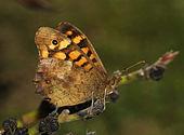 Butterfly April 2008-2.jpg