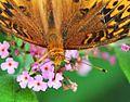 Butterfly bush-a thousand tiny sips (4758544823).jpg