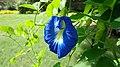 Butterfly pea -Clitoria ternatea.jpg