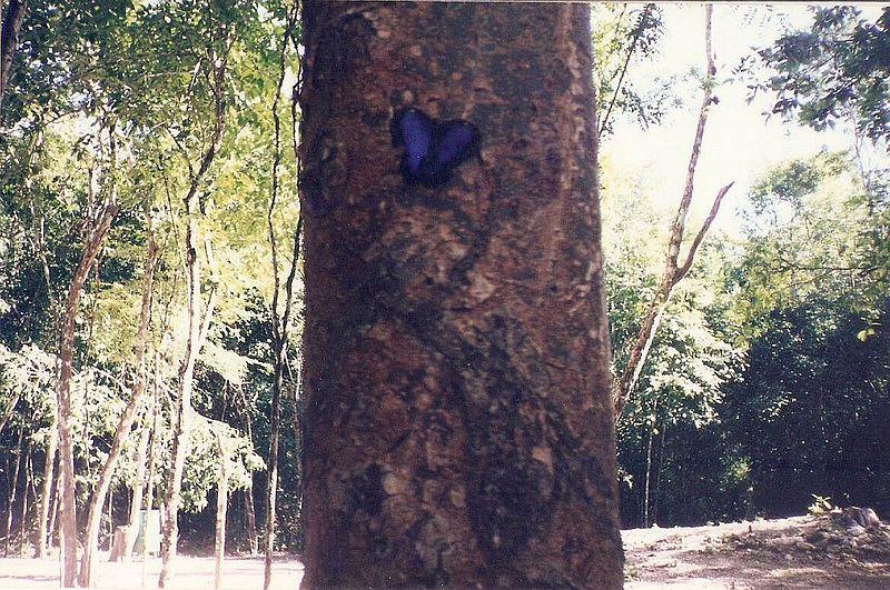 File:Butterfly tree.jpg