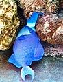 Cá bò đuôi én Nha Trang.jpg