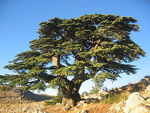 Flora of Lebanon - The emblematic Lebanon cedar (Cedrus libani) in Al Shouf Cedar Nature Reserve.