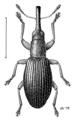 COLE Apionidae Neocyba metrosideros.png