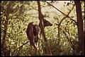 COLUMBIAN BLACKTAIL DOE BROWSING IN THE WOODS AT LARRABEE STATE PARK ON NORTHERN PUGET SOUND - NARA - 552339.jpg