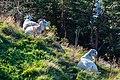 Cabras (Capra aegagrus hircus), montaña Fløyen, Bergen, Noruega, 2019-09-08, DD 25.jpg