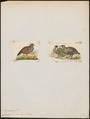 Caccabis bonhami - 1700-1880 - Print - Iconographia Zoologica - Special Collections University of Amsterdam - UBA01 IZ17100309.tif