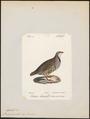 Caccabis saxatilis - 1842-1848 - Print - Iconographia Zoologica - Special Collections University of Amsterdam - UBA01 IZ17100283.tif