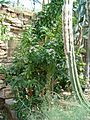 CactaceaeOverview Pereskia grandifolia grandiflolia HabitusFlowers BotGard0906.JPG
