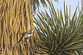 Cactus wren (Campylorhynchus brunneicapillus) (17388054719).jpg