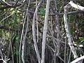 Cadaba fruticosa (11543311464).jpg