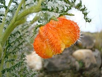 Loasaceae - Caiophora