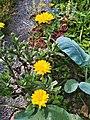 Calendula arvensis 094933.jpg