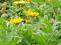 Calendula officinalis2.jpg