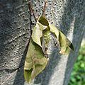 Callambulyx tatarinovii gabyae by OpenCage.jpg