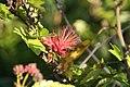 Calliandra haematocephala 11zz.jpg
