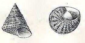 Calliostoma fragum 001.jpg