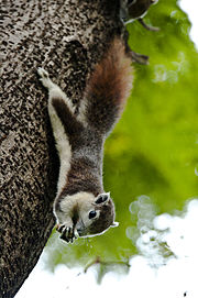 Callosciurus finlaysonii - Finlayson's squirrel (variable squirrel).jpg