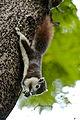 Callosciurus finlaysonii - Finlayson's squirrel (variable squirrel).jpg