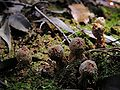 Calostoma japonica DSCN0514 a.jpg