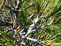 Calothamnus montanus (fruits).JPG