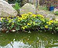 Caltha palustris-Kaczence w oczku wodnym-2006.jpg
