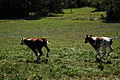 Calves running.jpg