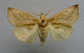 Calpini Tribe of moths