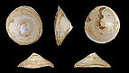 Calyptraea chinensis fossil 01.JPG
