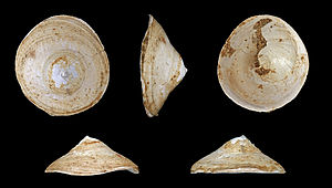 Littorinimorpha - Image: Calyptraea chinensis fossil 01