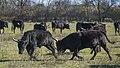 Camargue cattle, Saint-Gilles 05.jpg