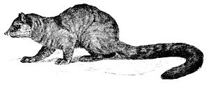 Makibär (Bassaricyon alleni), Illustration