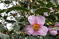 Camellia Japonica Magali (247134333).jpeg