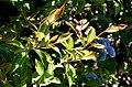 Camellia sasanqua 01.jpg